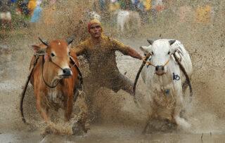 নানা রকম গরু রে ভাই